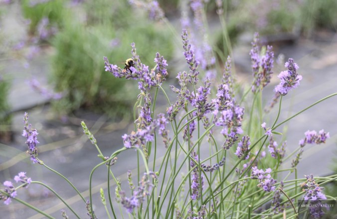 Linens in Lavender 18