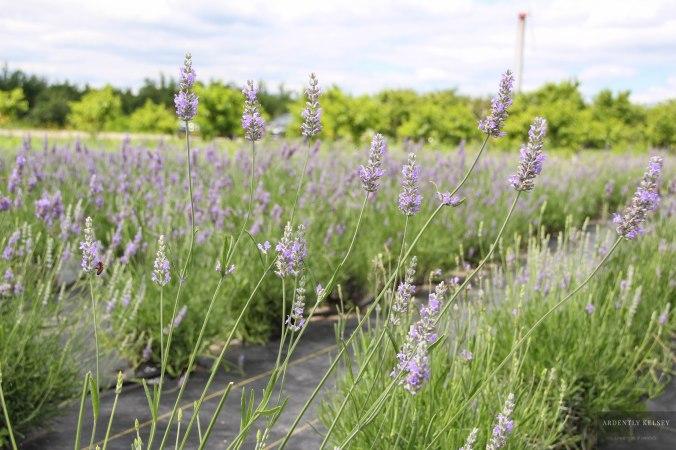 Linens in Lavender 21