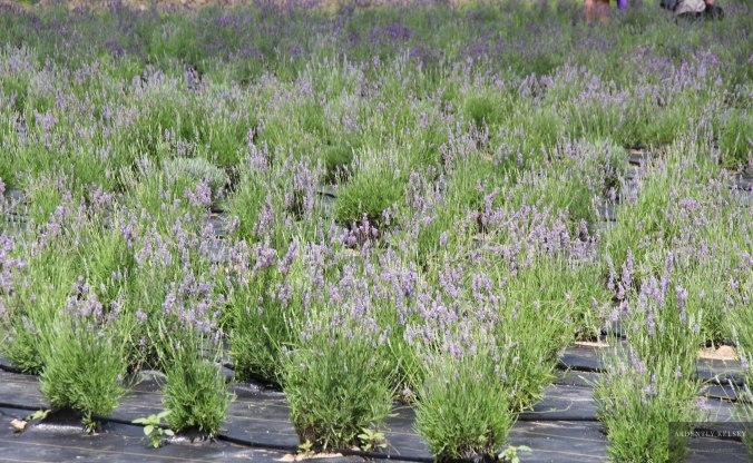 Linens in Lavender 24