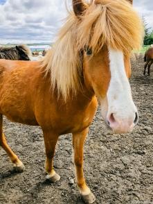 Icelandic Horses-4