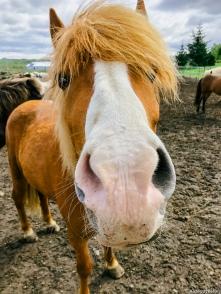 Icelandic Horses-5