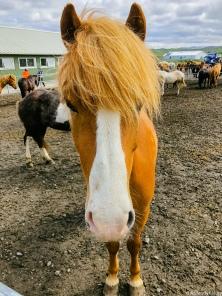 Icelandic Horses-6